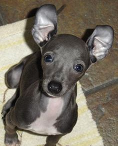 Penne the Italian Greyhound Pictures 3527 Cute Puppies, Cute Dogs, Dogs And Puppies, Italian Greyhound Puppies, Baby Animals, Cute Animals, Blue Great Danes, Animal Magic, Grey Hound Dog
