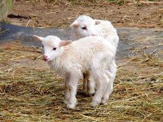 Cute baby lambs