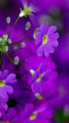 Here's what we found about purple flowers. Read up the info about purple flowers, and learn more about it! Wonderful Flowers, My Flower, Beautiful Flowers, Flowers Nature, Exotic Flowers, Wild Flowers, Flower Plant Images, Murs Violets, Purple Flowers Wallpaper