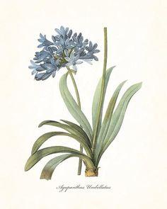 Redoute Series No.1 Agapanthus - Botanical Print