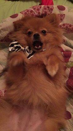 Lost Dog - Pomeranian - Hialeah, FL, United States