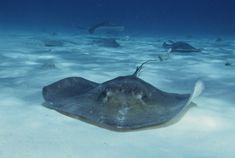 Stingray City, Grand Cayman Islands (yep, I actually got to swim with the stingrays! Grand Cayman Island, Cayman Islands, Hammerhead Shark Facts, Stingray City Grand Cayman, Caribbean Islands To Visit, Stingray Fish, Deadly Animals, Fun Facts For Kids, Ambergris Caye