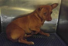 Animal IDt35324529 rnSpeciestDog rnBreedtChihuahua, Short Coat rnAget5 years 2 days rnGendertMale rnSizetSmall rnColortBronze rnSitetCity of El Paso, Animal Services rnLocationtSally Port rnIntake Datet5/10/2017