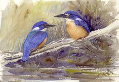 Azure kingfishers B15