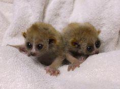 baby slow loris twins!