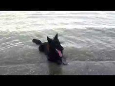 Dogs love water..........Old German Shepherd Cana - YouTube