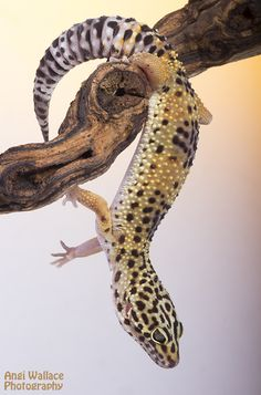 Arboreal leopard gecko by AngiWallace.deviantart.com on @deviantART