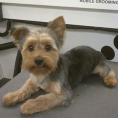 ^^Learn about yorkshire terrier. Click the link for more info Viewing the website is worth your time. Yorkshire Terrier Haircut, Yorkshire Terrier Puppies, Terrier Dogs, Yorkies, Cute Puppies, Cute Dogs, Poodle Puppies, Yorkie Cuts, Yorkie Teddy Bear Cut
