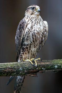 Saker Falcon by Jean-Claude Sch. on 500px