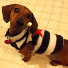 My girl Ava showing off her new sweater. #dachshund
