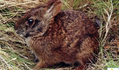 The Lower Keys Marsh Rabbit (Sylvilagus palustris hefneri) is perhaps the most endangered species of rabbit currently known on earth. The Lo...
