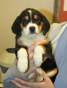 Bryleigh is a female, 6lb, tri color beagle puppy. Bryleigh's estimated date of birth is October 2013. Bryleigh and her sister Dally were rescued from the Tulsa shelter. They are happy and playful puppies. You can meet Bryleigh at Bent Arrow Vet....