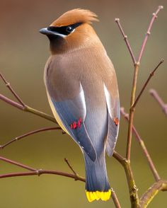 One of my favorite birds of all time.  Cedar Waxwing-saw one at CSUF ~ ME TOO ME TOO!!!