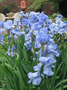 Irises   Beautiful Iris 'Rococo' growing in my garden last s…   Flickr