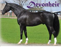 Devon Heir is a 14 yr. old registered black gorgeous Hanoverian stallion; stands at 16.3hh.