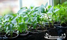 Посадка перца на рассаду - соблюдаем правила и получаем богатый урожай. Сроки посева, условия выращивания, подкормка, полив, инструкция