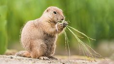 Did you know prairie dogs get their name from their bark? Learn more about them here. #Dogs #Animals #Prairie #PrairieDogs #AnimalFacts #FunFacts #AnimalFunFacts #NationalGeographic #ForKids #JungleJim