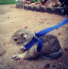 Did You Know That You Can Have A Pet Squirrel?                                                                                                                                                                                 More