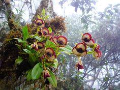 Orchidaceae Telipogon collantesii, in situ, Peruvian Andes - Orchid Plants, Exotic Plants, Exotic Flowers, Tropical Plants, Air Plants, Garden Plants, Beautiful Flowers, Unusual Plants, Mini Orquideas