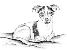 Pencil drawing - Jack Russell Terrier Amy