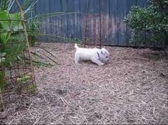 Image result for cutest west highland terrier