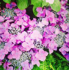Hydrangeas at the RHS Tatton Flower Show Garden 2014