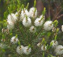 L'huile essentielle de tea tree est bénéfique pour l'acné, l'herpès et bien d'autres affections cutanées encore
