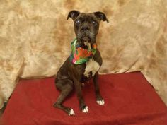Meet BAILEY a Petfinder adoptable Boxer Dog | Upper Marlboro, MD | Petfinder.com is the world�s largest database of adoptable pets and pet care information. Updated daily, search Petfinder for one of over 300,000 adoptable pets and thousands of pet-care articles!