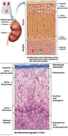 GLÁNDULA SUPRARRENAL - HISTOLOGÍA - The Endocrine System