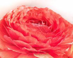 Orange Ranunculus Flower Art Print - Summer Flower Art Print, Floral Photograph, Flower Home Decor, Fine Art Photograph, Orange Flower Art