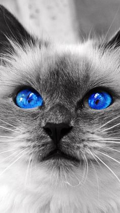 I seriously love ragdoll kittens. best images ideas about ragdoll kitten - most affectionate cat breeds - Tap the link now to see all of our cool cat collections! Pretty Cats, Beautiful Cats, Animals Beautiful, Cute Animals, Gorgeous Eyes, Pretty Kitty, Animals Kissing, Beautiful Pictures, Hello Gorgeous
