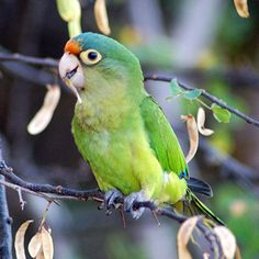 The orange-fronted conure from Costa Rica mimics to start a conversation, according to scientists. (Photo: Wikimedia Commons)