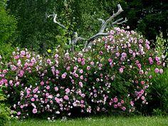 Poppius rosehekk --suviruusu