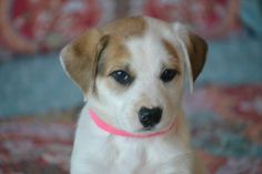 Check out Hannalee's profile on AllPaws.com and help her get adopted! Hannalee is an adorable Dog that needs a new home. https://www.allpaws.com/adopt-a-dog/australian-shepherd-mix-boxer/4661024?social_ref=pinterest