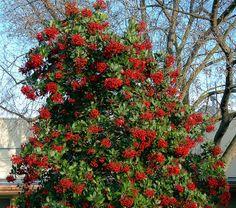 Heteromeles arbutifolia - Toyon by pete@eastbaywilds.com, via Flickr