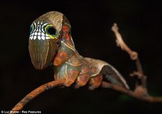 Unusual caterpillar skull.  Travelling on Australia's tropical forests, biologist Louis Weber saw in one of the unusual plants caterpillar whose head is more reminiscent of a skull! Fortunately, in the hands of the men was a camera, which he captures the unique of its kind insect.