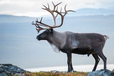 An early Christmas present: Scientists have unwrapped the reindeer genome -- ScienceDaily Large Animals, Zoo Animals, Cute Animals, Nordic Christmas, Modern Christmas, Christmas Tables, Xmas, Reindeer Tattoo, Caribou Hunting