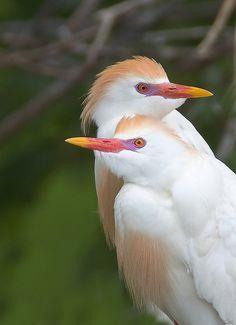 Cattle Egrets by Darlene Boucher