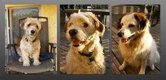 Benji, Koko & Angel Tibetan Terrier, Angel, Pets, Animals, Animales, Animaux, Animal, Animais, Animals And Pets