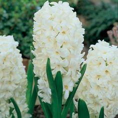 Hyacinth Bulbs Carnegie | Hyacinthus orientalis | Heavy Fragrance with Perennial Qualities