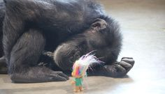 Chimp With Darkest Past Takes Comfort In Tiny Troll Doll