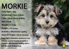 Morkie puppies: Lancaster Puppies has morkie puppies for sale. The Morkie dog is a playful, designer breed. Get a morkie puppy here. Morkie Puppies For Sale, Cavapoo Puppies, Small Puppies, Small Dogs, Terrier Puppies, Cockapoo, Yorkies, Terrier Mix, Goldendoodle