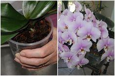 Hihetetlen! Így lehet akár 20 virág is egyszerre az orchideádon! Próbáld ki ezt a trükköt! - Tudasfaja.com Ikebana, Bonsai, Diy And Crafts, Home And Garden, Gardens, Goblin, Plant, Flower Arrangements, String Garden