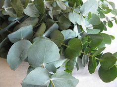 eucalyptus struik - Google zoeken