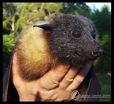 Walter, a mature Grey-headed flying-fox