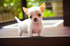 Why you look so sad? Chihuahua shorthair puppy