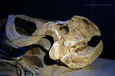 Dinosaurio de perfil · Protoceratops en el CosmoCaixa, Barcelona