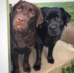 Mind Blowing Facts About Labrador Retrievers And Ideas. Amazing Facts About Labrador Retrievers And Ideas. Rottweiler Puppies, Lab Puppies, Cute Puppies, Cute Dogs, Big Dogs, I Love Dogs, English Labrador, Most Popular Dog Breeds, Labrador Retriever Dog