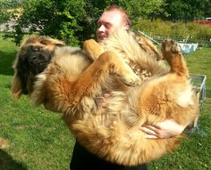 WANT ONE!!! leonberger, this will be Steven one day.