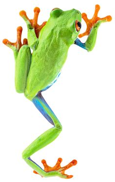 red-eyed-tree-frog-costa-rica